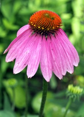 Echinacea purpurea on green background