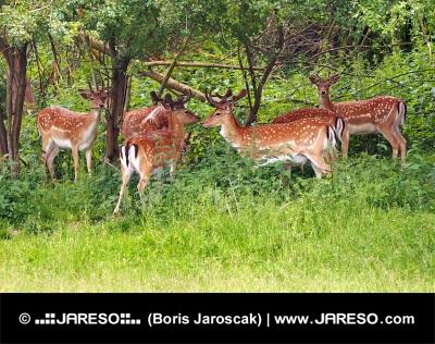 En liten flock dovhjortar hjortar