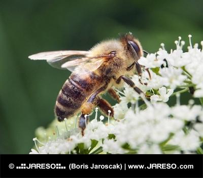 Bee närbild