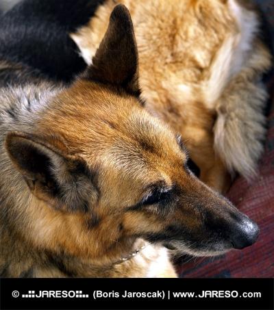 Porträtt av schäferhund