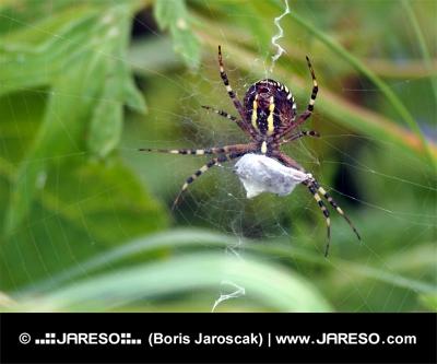 Spindel på webben