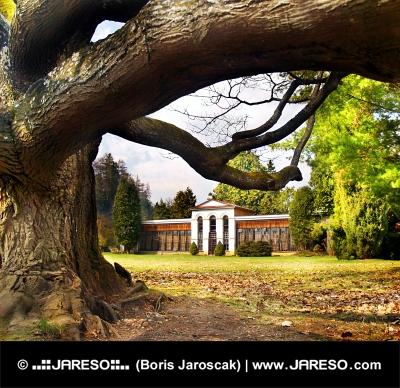 Stort träd och arboretum i Turcianska Stiavnicka, Slovakien