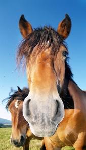 Häst tittar in i kameran