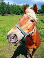 Häst tittar direkt in i kameran