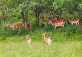 En flock träda deers på den gröna ängen