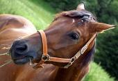 Porträtt av häst äter gräs