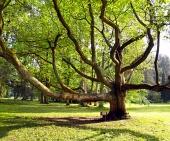 Mycket gamla träd i parken