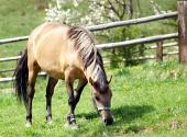 Häst betar på ängen