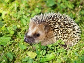 Hedgehog på grönt gräs