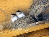 Två fåglar i boet