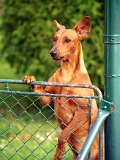 Hund tittar över staketet