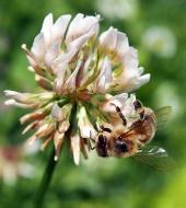 Bee pollinerar klöver blomma