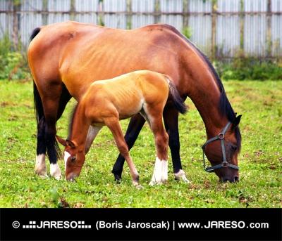 Kobila in žrebe