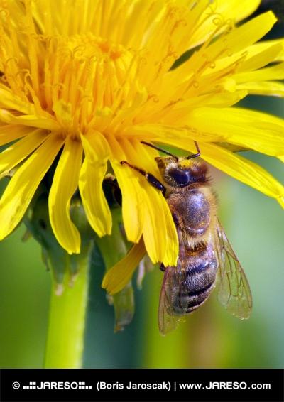 Čebela na rumeno rožo