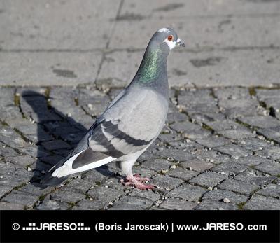 Grey Rock Dove ali skupna Pigeon