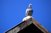 Golob sedi na strehi