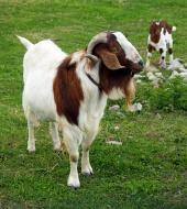 Gorska koza od blizu