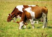 Dve krave na zelenem travniku