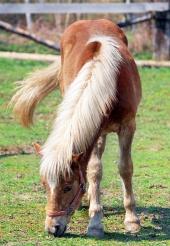 Konj paše na področju