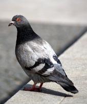 Siva golob sedi na pločniku