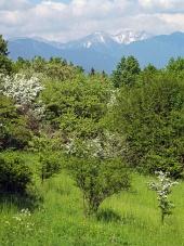 Vrhovi Rohace in zelena drevesa