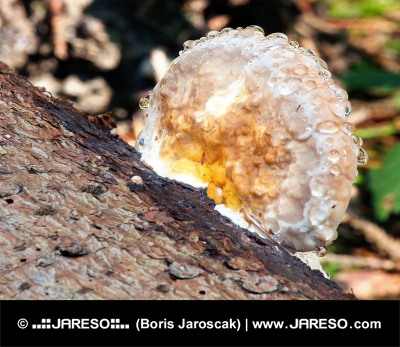 A wood-decay fungus covered with moisture