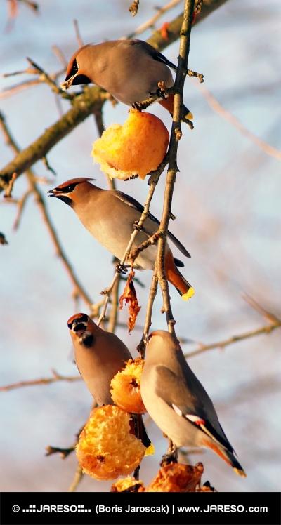 Cedar Waxwings eating apples