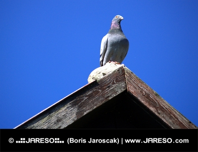 Pigeon sitting at the edge of a roof