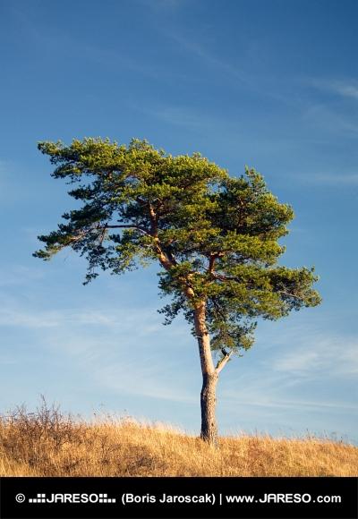 Single coniferous tree in a yellow field on blue background