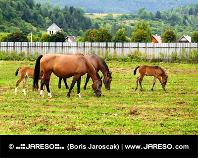 Two mares with their young foals grazing on meadow near village