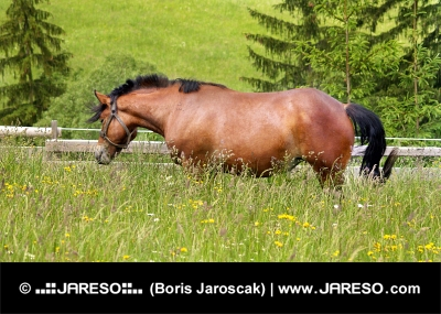 One stallion grazing in the green meadow
