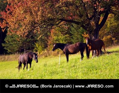 Three horses under the red tree