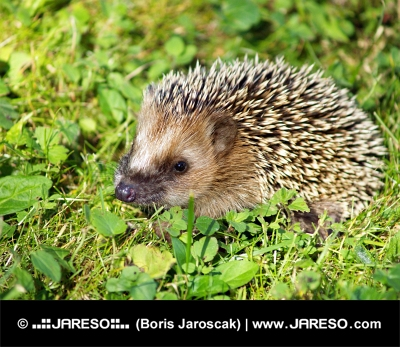 Hedgehog on green grass
