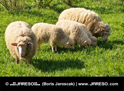 Sheep family in the meadow