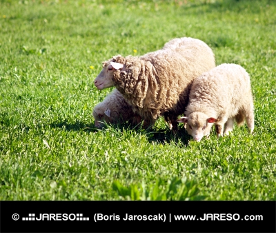 Sheep and lamb in meadow