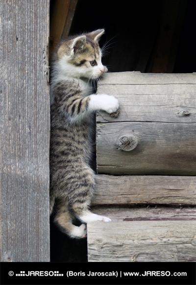 Tabby kitten climbing wooden logs