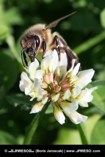 European bee pollinating clover blossom
