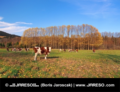 Cows on field in autumn