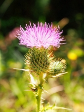 A close-up of a pink thistle