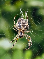 A close-up of a spider weaving its web