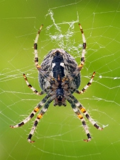 A close-up of small spider weaving its web
