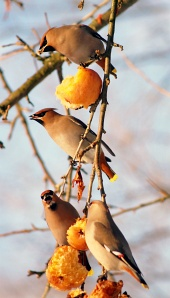 Cedar Waxwings eating apples