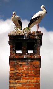 Closeup of two storks on chimney