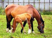 Mare and young foal grazing in paddock