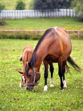Grazing mare and foal in green paddock