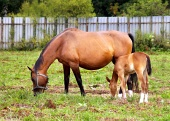 Mare and foal grazing in green paddock