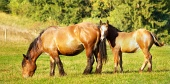 Mare and foal grazing in meadow near forest
