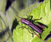 Colorful grasshopper on the green leaf