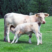 Calf feeding from cow