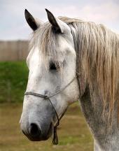 Portrait of the white horse